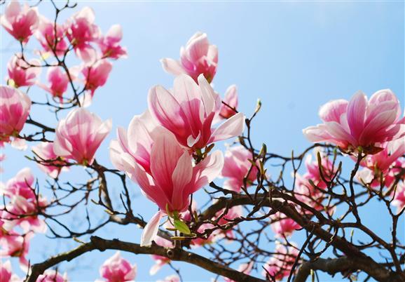 zapachy w naturze magnolia rossnet. Black Bedroom Furniture Sets. Home Design Ideas